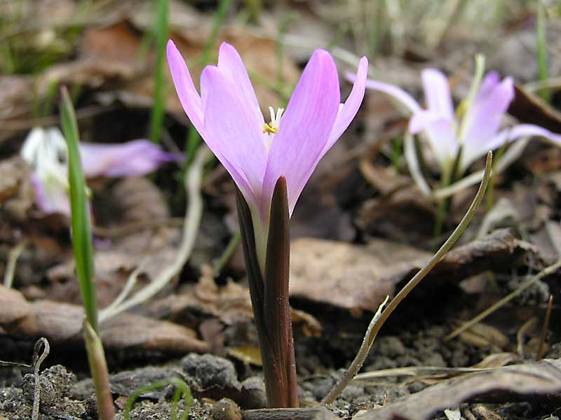 A plant with pink flowers pink flowers names and photos in diameter pink flowers of a perennial brandies bulbocodium each bulb in the spring before growing leaves gives a few buds then during the summer mightylinksfo